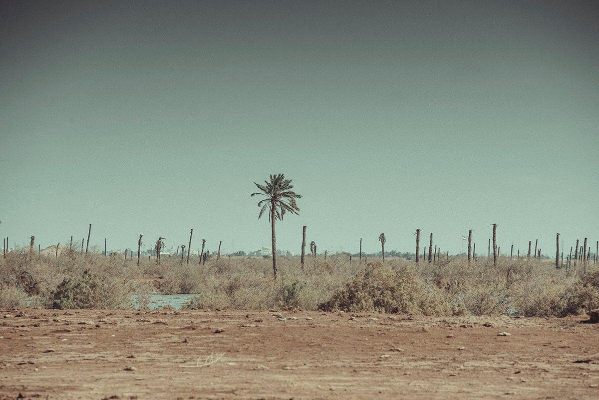 Fao. Les palmiers abîmés pendant la guerre Iran-Irak dans les années 80 n'ont pas repoussé. 2020. Irak.  CC : ICRC/KHALAF, MIKE MUSTAFA
